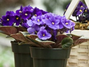 African Violets, Sally's favorite