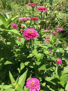 Zinnias add gorgeous color in the outdoor summer gardens
