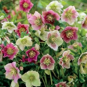 The Water's garden is filled with the winter blooms of hellebores