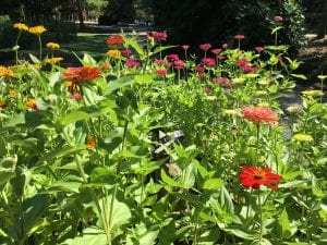 Zinnias add such beautiful color to the garden
